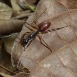 Reusachtige mieren, 5-10 centimeter