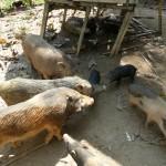 Varkens voor de slacht