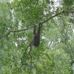 Een wilde, maar nieuwsgierige orang-oetan