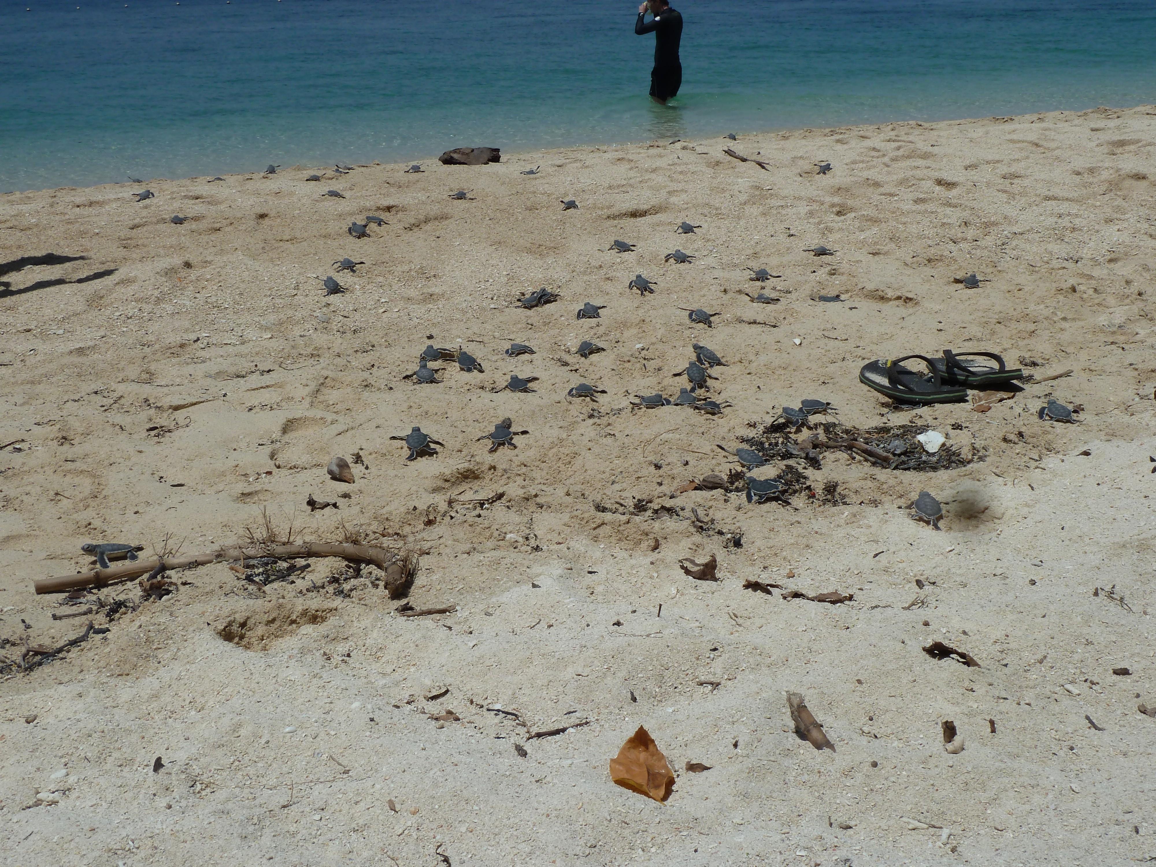 schildpadden, net uitgekomen & kruipen direct naar de zee