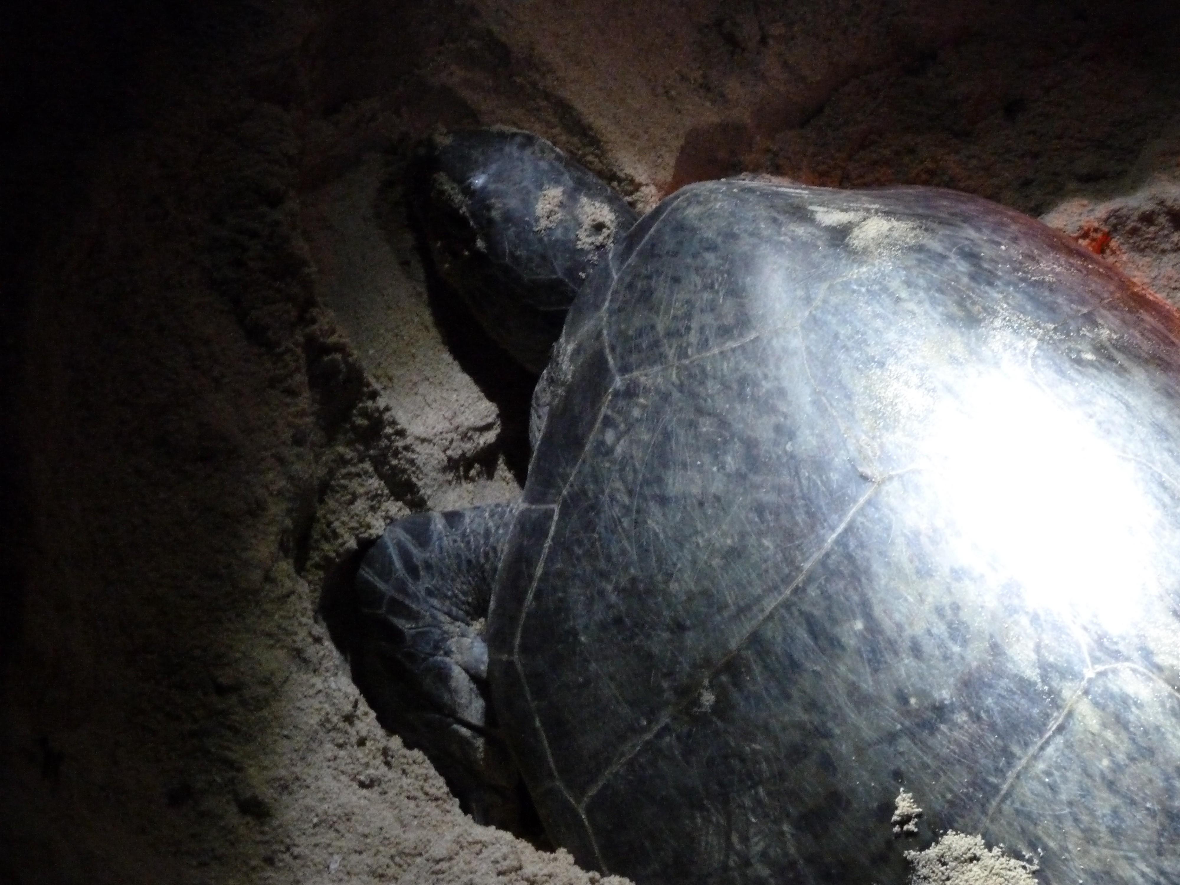Bevalling van een schildpad