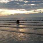 Deze koe zocht elke dag urenlang verkoeling in de zee