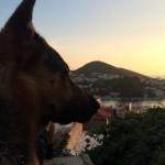 Rex hond